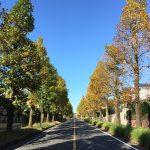 秋のユリノキ通り